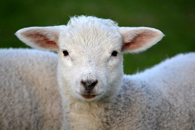 lamb-292512_960_720.jpg