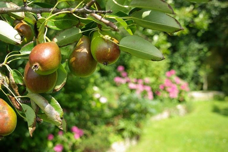 pears-3732354_960_720.jpg